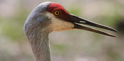 close-up of sandhill crane