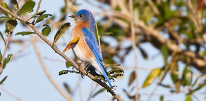 eastern bluebird perched on branch