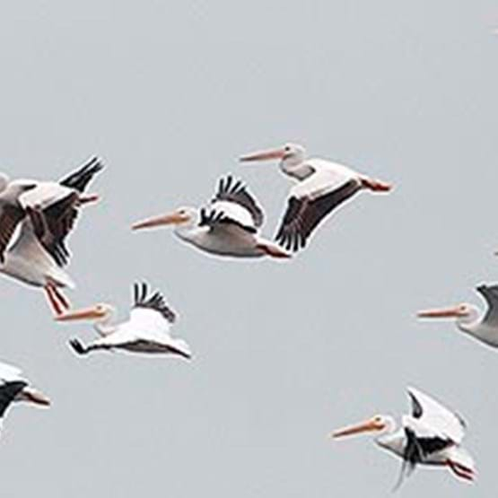Large flock of white pelicans in flight