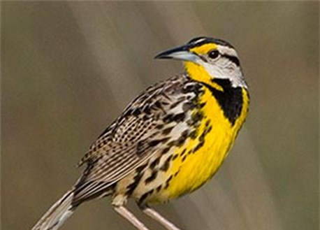 Eastern meadowlark perching on stump