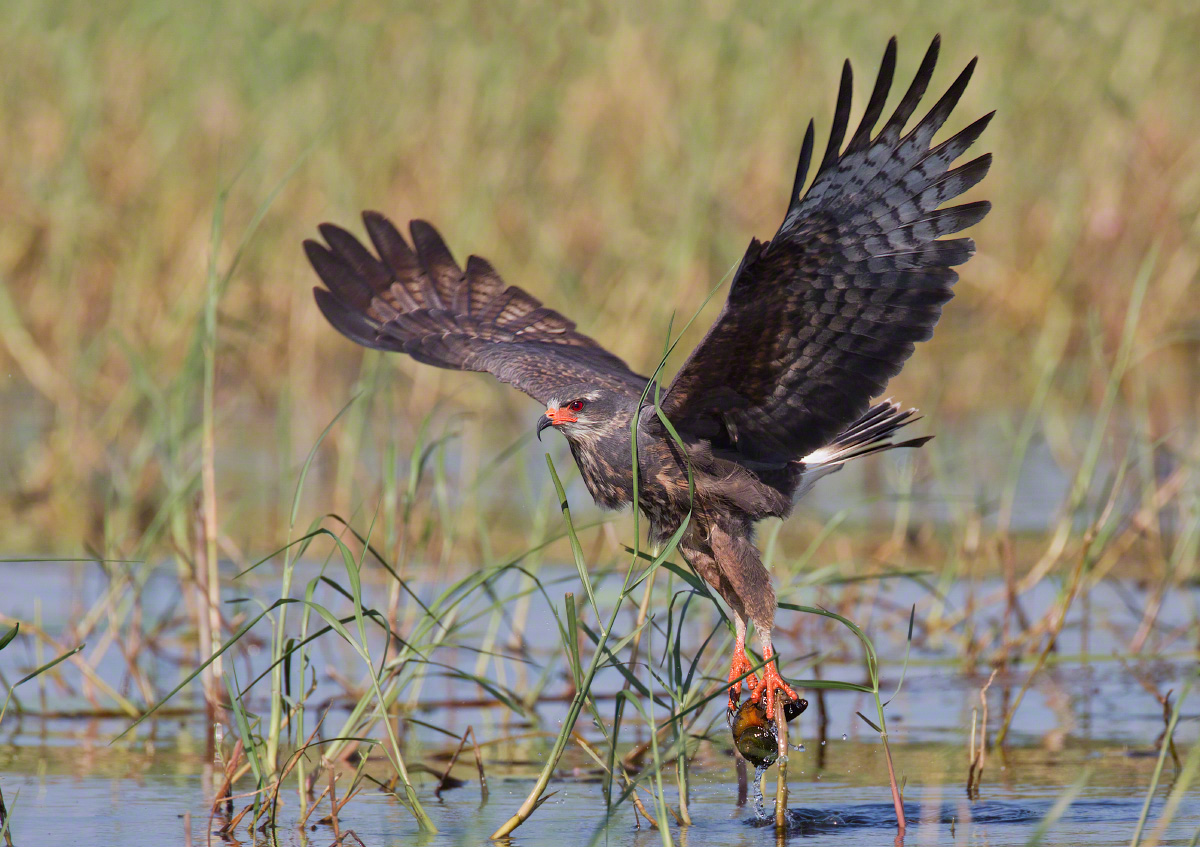 A snail kite capturing a snail in the marsh.