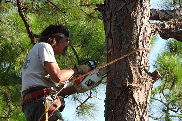 Biologist has climbed up a pine tree and is installing an artificial red-cockaded woodpecker next cavitiy.