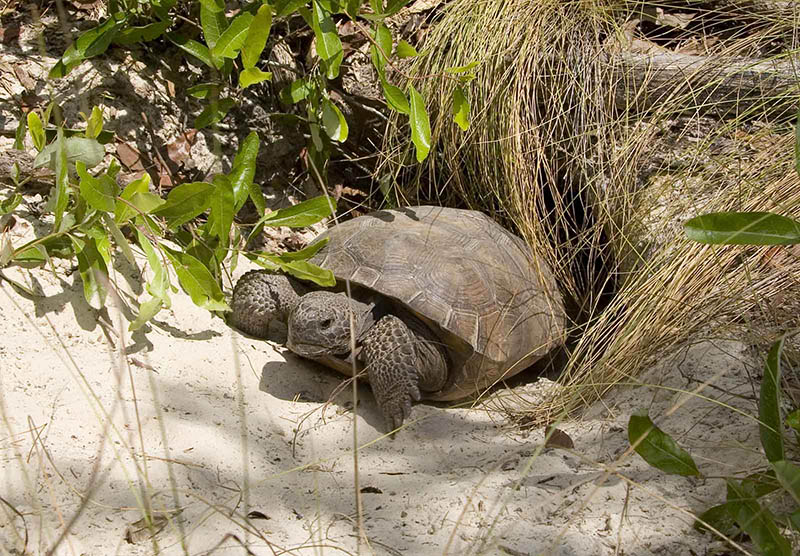 Gopher tortoise emerging from burrow