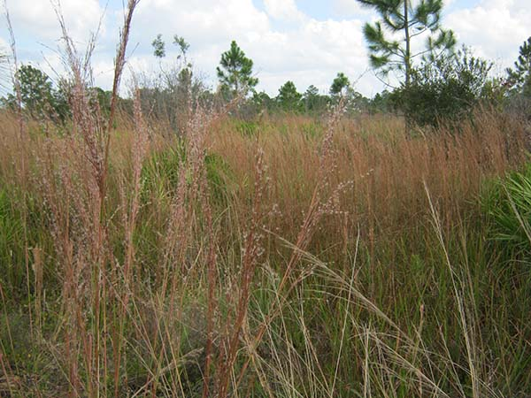 Native grasses after a prescribed burn.