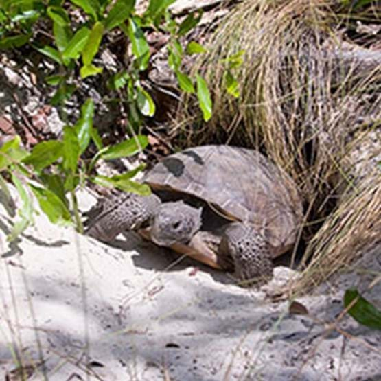 Gopher tortoise out of the burrow