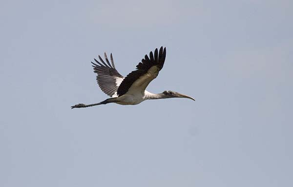Woodstork in flight against blue sky