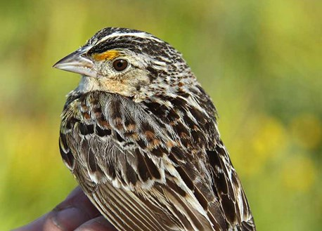 banded grasshopper sparrow