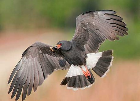 Snail Kite in flight with snail prey in beak