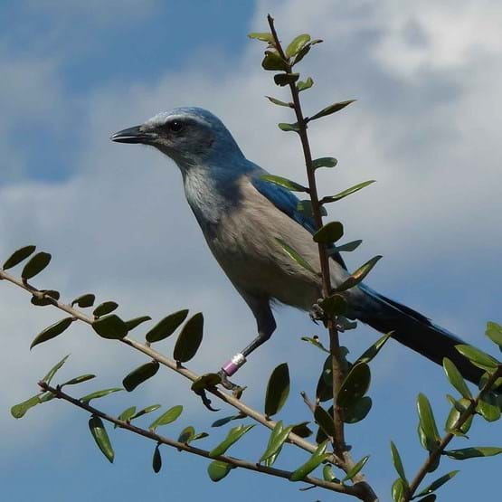 Scrub Jay Banded On Branch