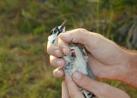 Red-cockaded Woodpecker being banded
