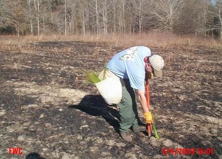 Longleaf pine seedlings are planted to restore a former pasture.