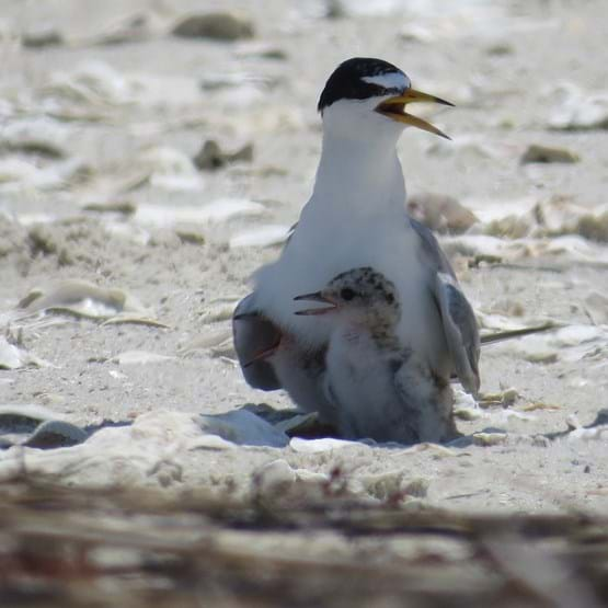 An adult Least Tern stands over it's chick on the beach.