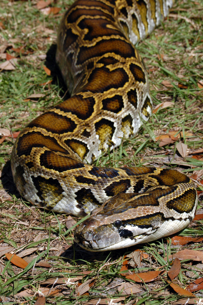 Burmese python slithering in the grass