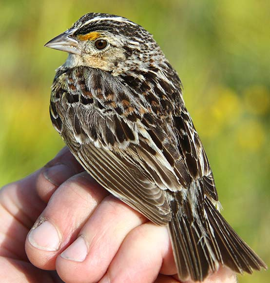FWC biologists band rare Florida grasshopper sparrows to monitor the effects of ongoing land management practices.
