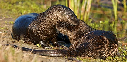 pair of otters playing