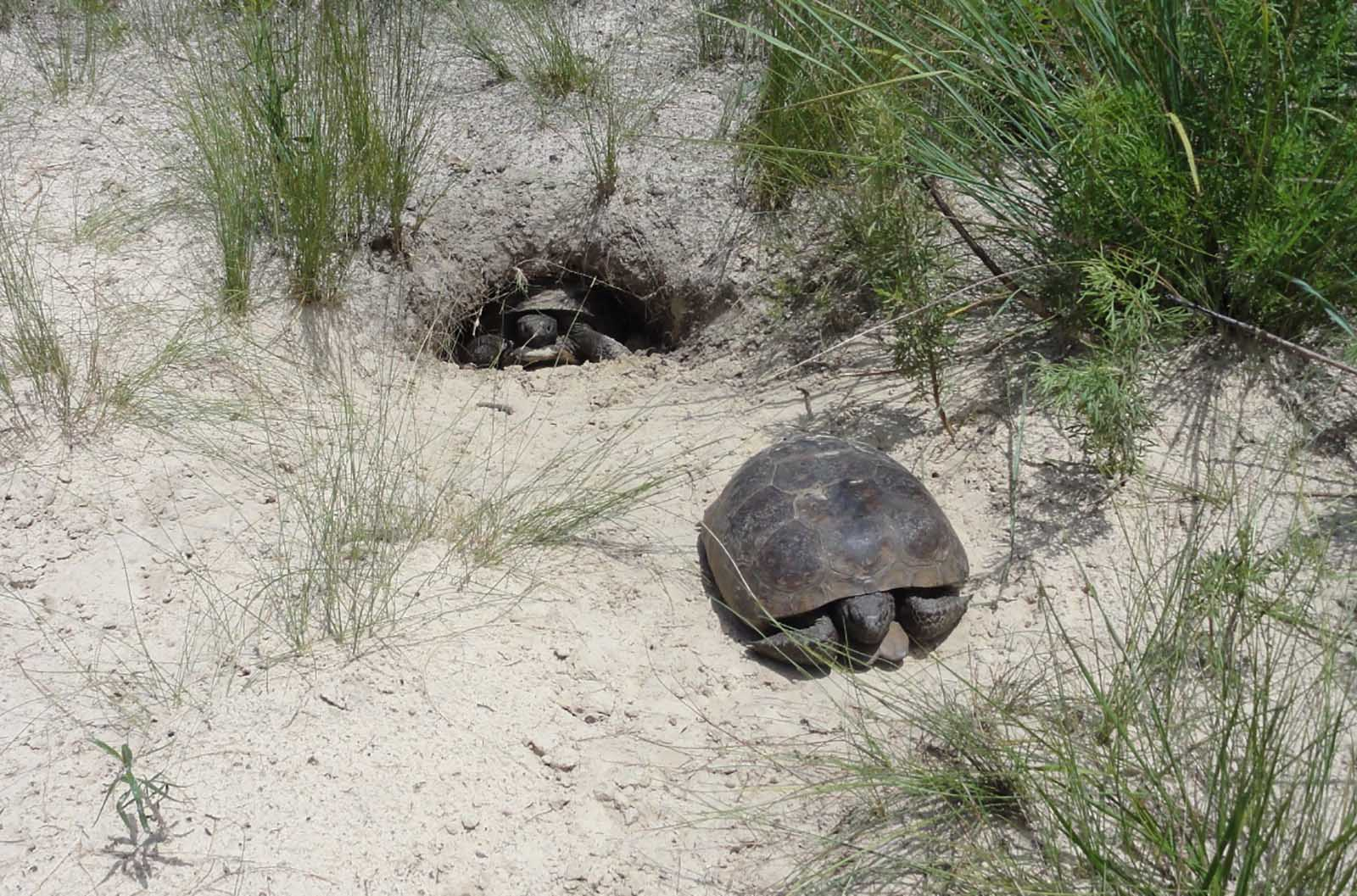 two gopher tortoises, one hiding in shell and another looking from its burrow hole