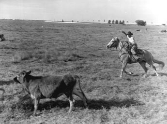 cowboy on horseback herding a cow