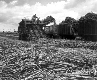 Field loader harvesting sugar cane