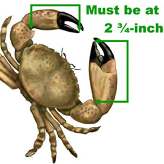 Stone crab measurements